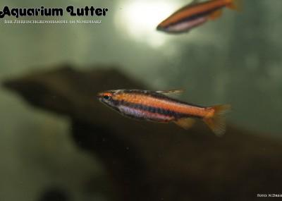 Purpurziersalmler - Nannostomus mortenthaleri