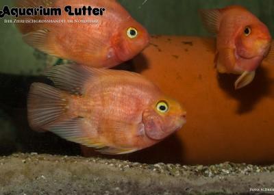 Purpurroter Papageienbuntbarsch - Parrot