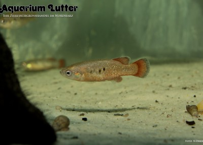 Regenbogen Goodeide Guadalupe aguilera red - Characodon cf. lateralis