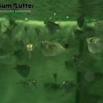 Riesenbeilbauchfisch