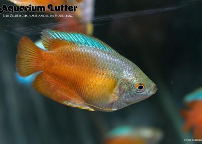 Roter Zwergfadenfisch - Colisa lalia