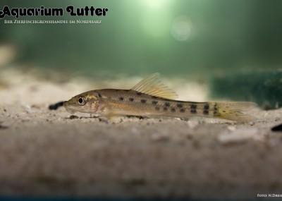 Saugschmerle - Gyrinocheilos aymonieri