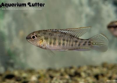 Schachbrettcichlide - Rio Negro - Dicrossus foirni