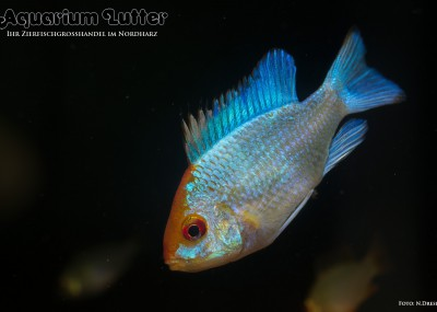 Schmetterlingsbuntbarsch Electric Blue - Mikrogeophagus ramirezi electric blue