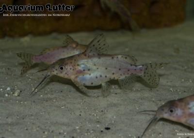 Schwarzer Fiederbartwels - Synodontis nigrita