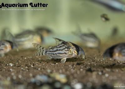 Schwarzs Panzerwels - Corydoras schwartzi