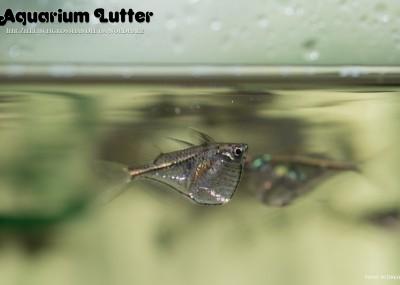 Schwarzschwingenbeilbauchfisch - Carnegiella marthae