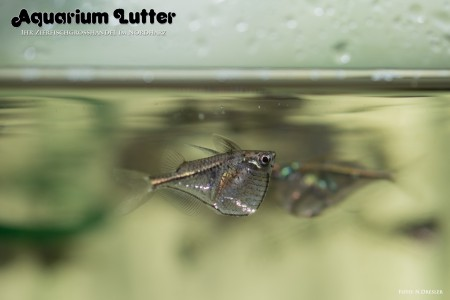 Schwarzschwingenbeilbauchfisch – Carnegiella marthae