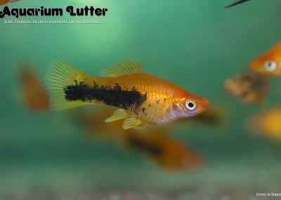 Schwertträger Tuxedo Rot - Xiphophorus helleri