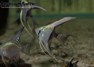 Skalar bicolor - Pterophyllum scalare