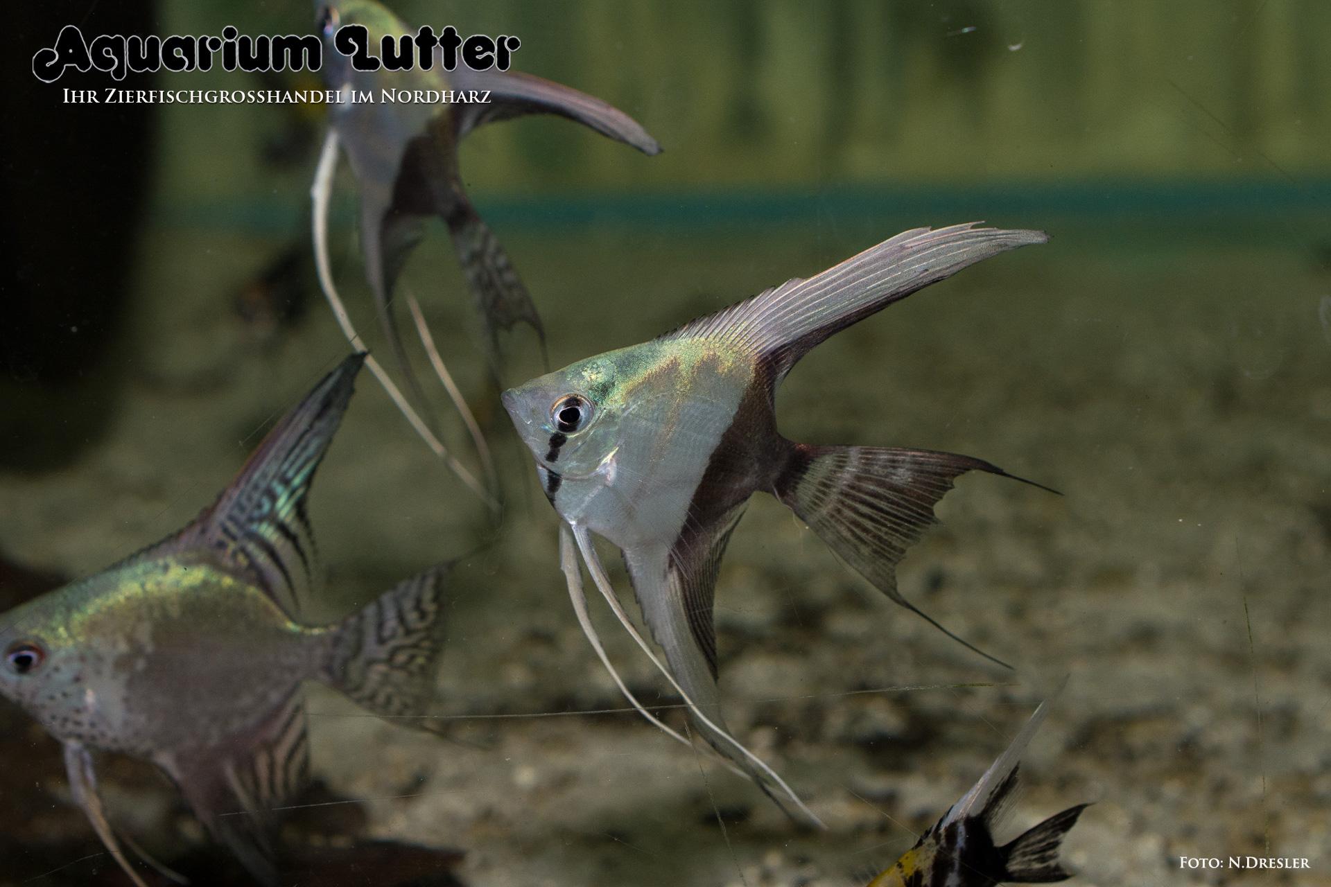 Skalar bicolor pterophyllum scalare aquarium lutter for Skalar aquarium