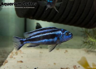 Stahlblauer Maulbrüter - Melanochromis maingano