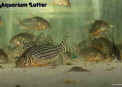 Sterbas Panzerwels - Corydoras sterbai