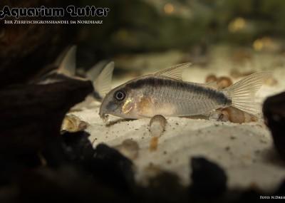 Stromlinien Panzerwels - Corydoras arcuatus