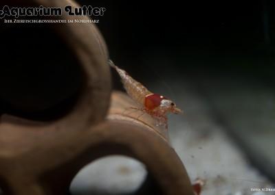 Taiwan Bee Pinto - Caridina sp.