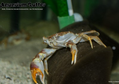 Tanganjika Krabbe Platythelphusa sp. tanganjika