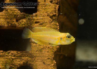 Tanganjika Schneckenbuntbarsch - Gold - Lamprologus ocellatus