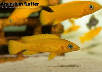 Tanganjikasee Goldcichlide - Neolamprologus leleupi