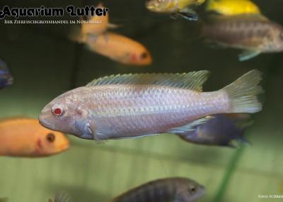Türkisgoldbarsch albino - Melanochromis auratus