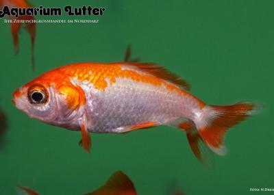 Wakin Goldfisch - Carassius auratus
