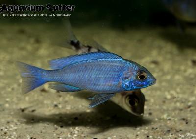 Weißlippen Phenochilus mdoka - Placidochromis phenochilus