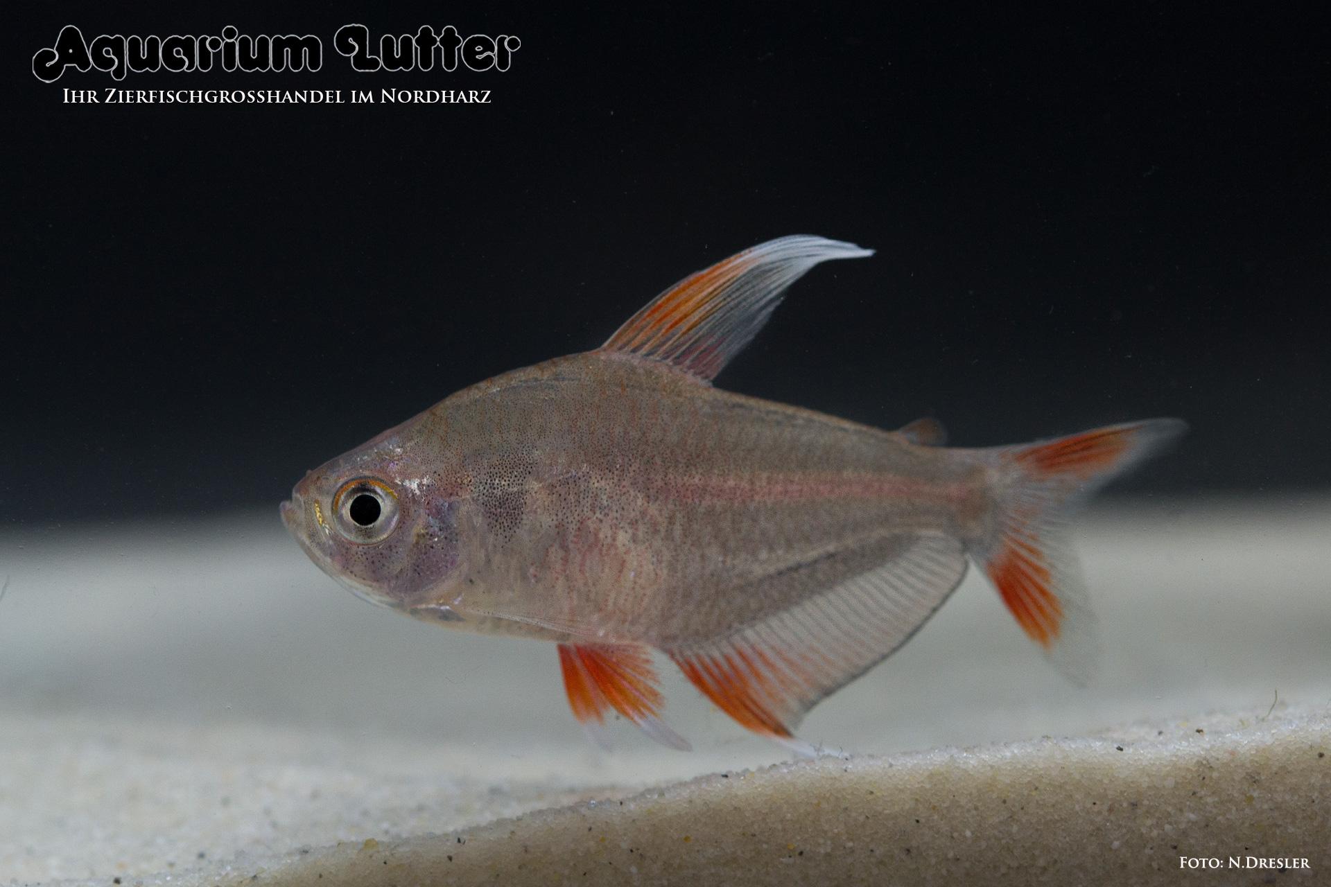 Weissflossen Schmucksalmler -Hyphessobrycon ornatus