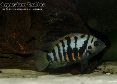 Zebrabuntbarsch - Cichlasoma nigrofasciatum