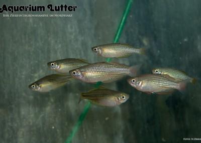 Zwerg Regenbogenfisch - Melanotaenia macculochi