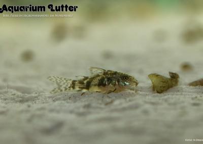 Zwergschmerlen Panzerwels - Aspidoras pauciradiatus