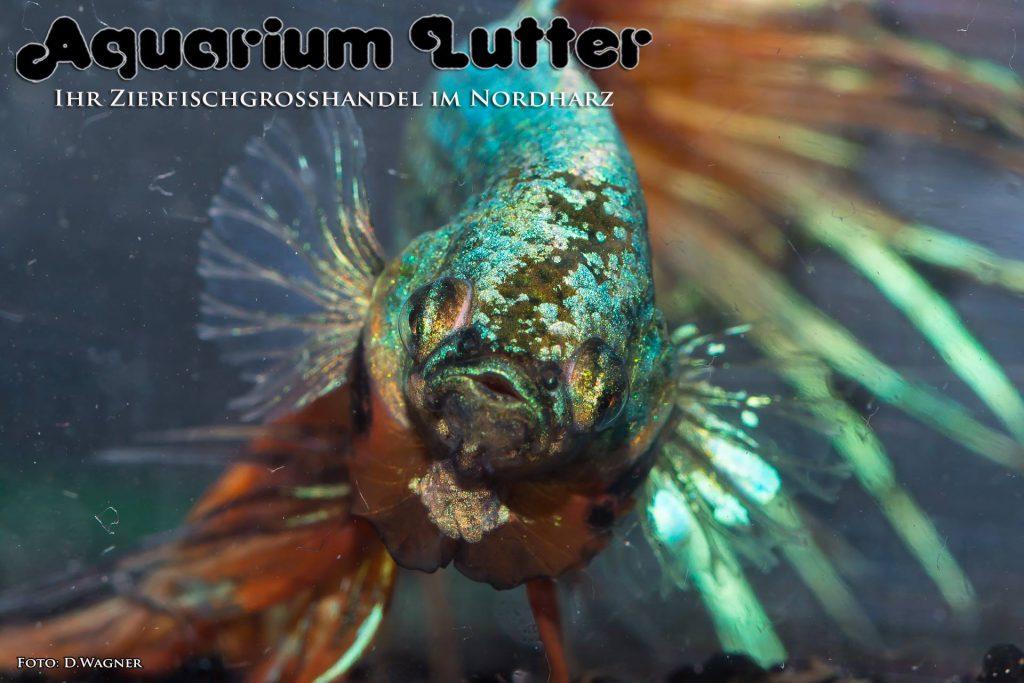 Crowntail Dragon Kampffisch - Betta splendens