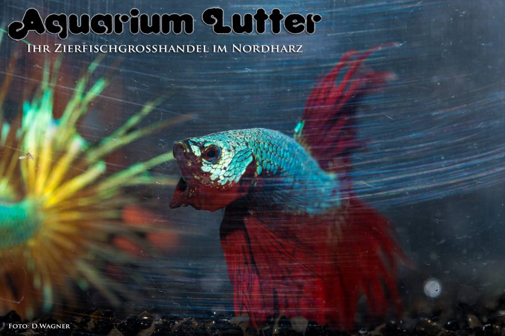 Crowntail Dragon Kampffisch - Betta splendens