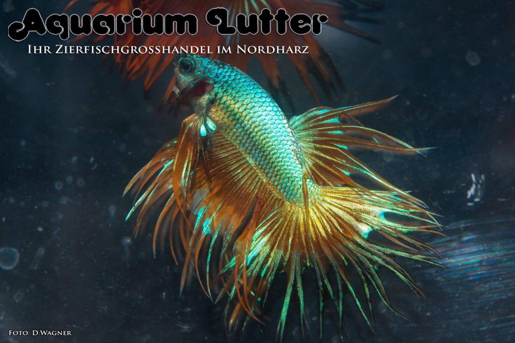 Aquarium lutter crowntail dragon kampffisch for Kampffisch betta