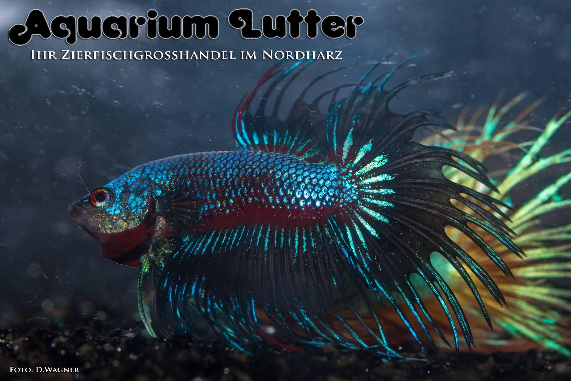 Crowntail dragon kampffisch betta splendens j aquarium for Kampffisch betta