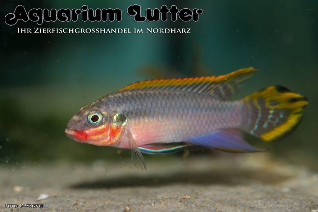 "Smaragdprachtbarsch - Pelvicachromis taeniatus ""Nigeria Rot"""