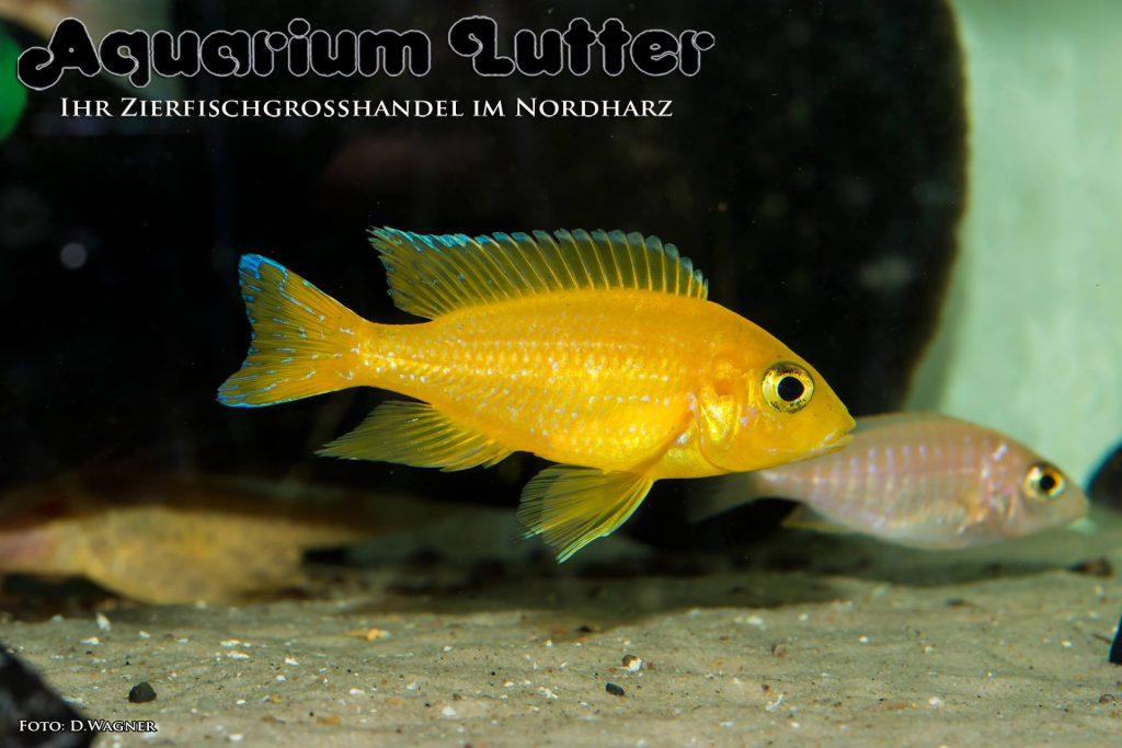 Gelber Kaiserbuntbarsch - Aulonocara marleri marleri