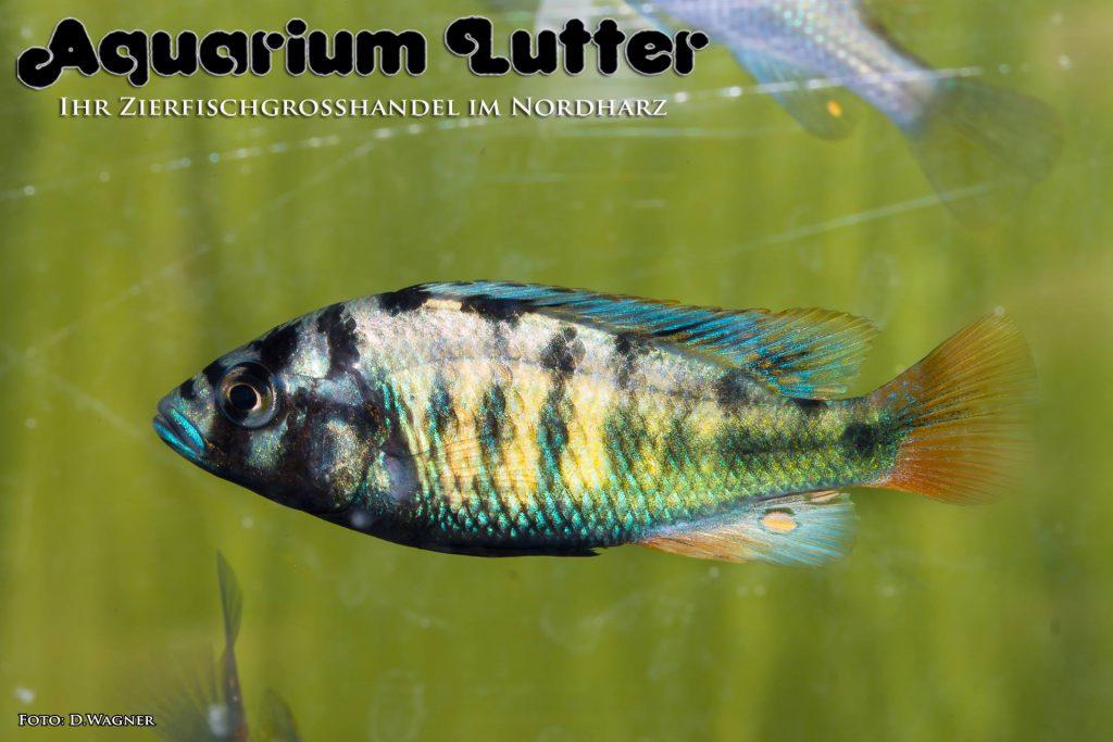 Thick line Haplochromis - haplochromis CH44