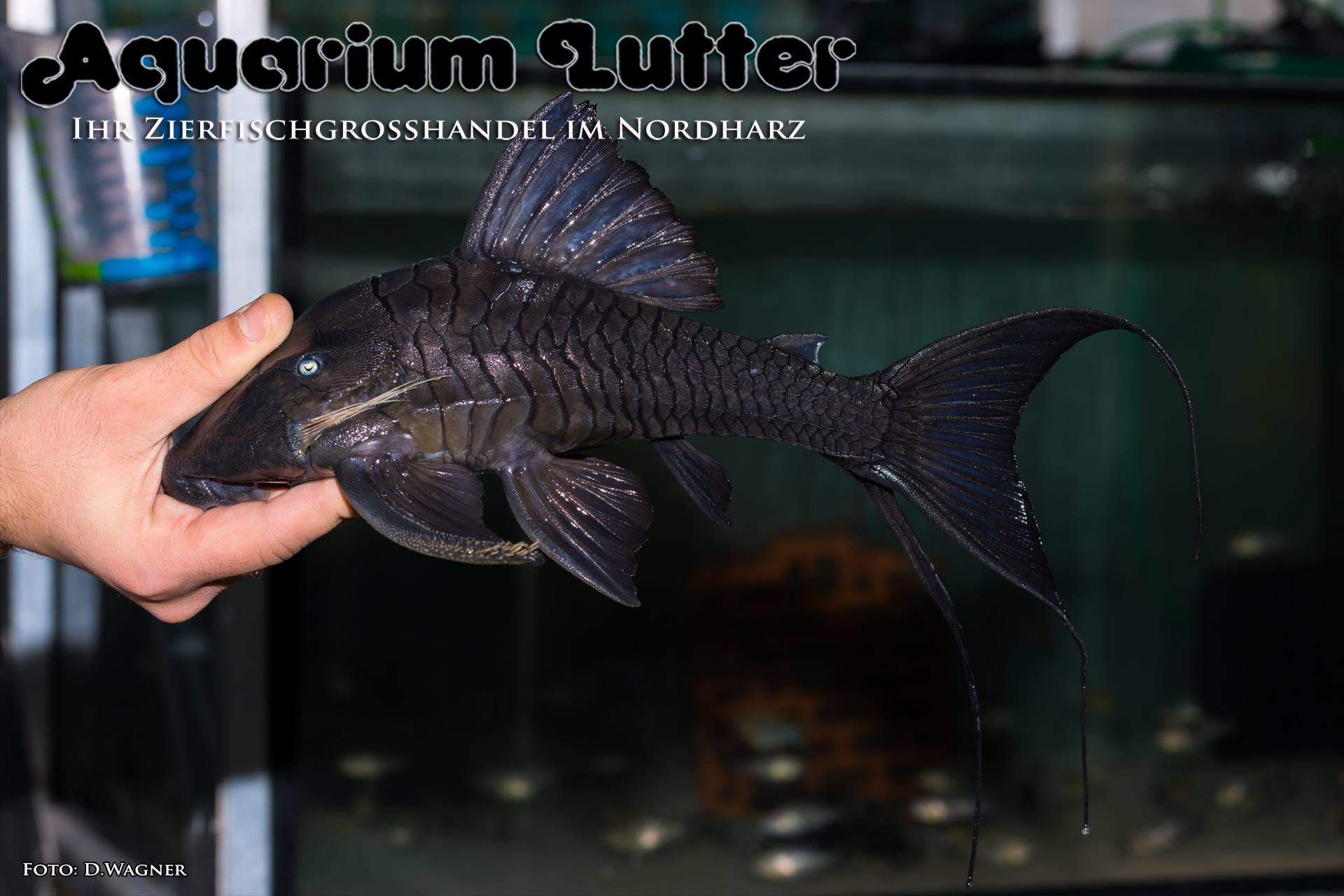 Panaque cochliodon – Blauaugenharnischwels