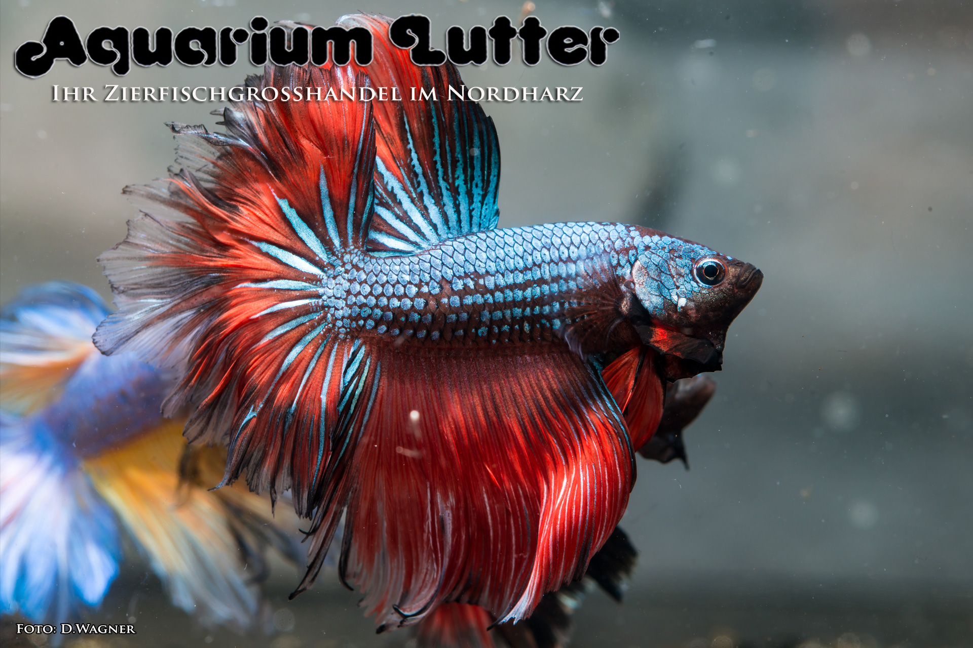Rose Kampffisch - Betta splendens