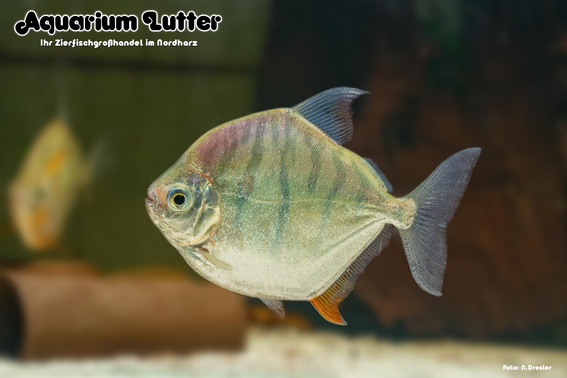 Gestreifter Scheibensalmler - Metynnis fasciatus