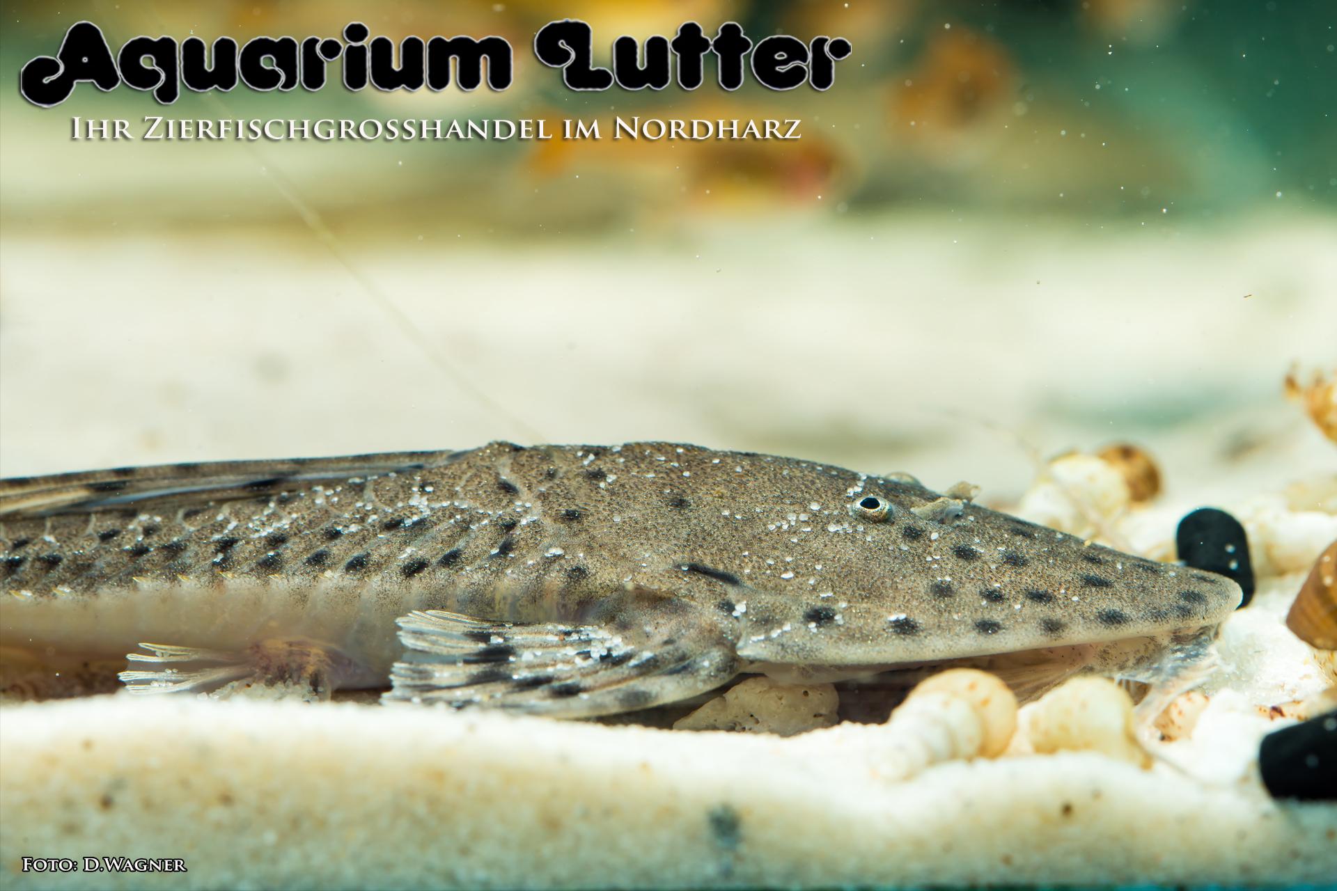 Rundkopf Flunderharnischwels –  Planiloricaria cryptodon