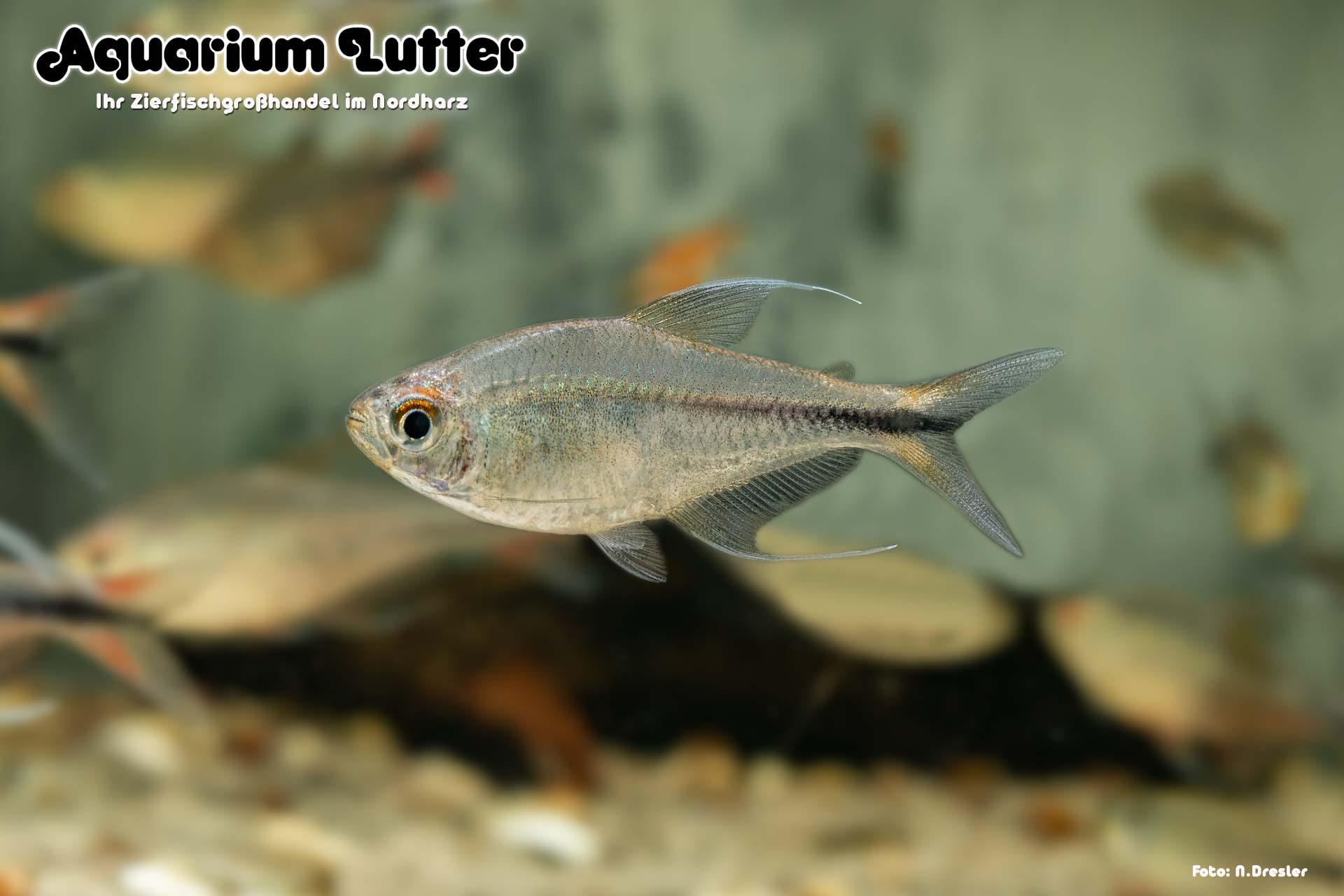 Phönixsalmler - Hyphessobrycon filamentosus