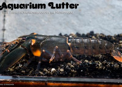 Schwarzer Flusskrebs - Cherax black scorpion