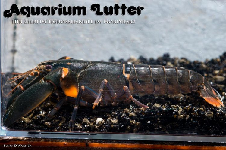 "Black Scorpion Krebs – Cherax sp. ""Black Scorpion"""