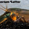 "Black Scorpion Krebsen"" – Cherax sp. ""Black Scorpion"""