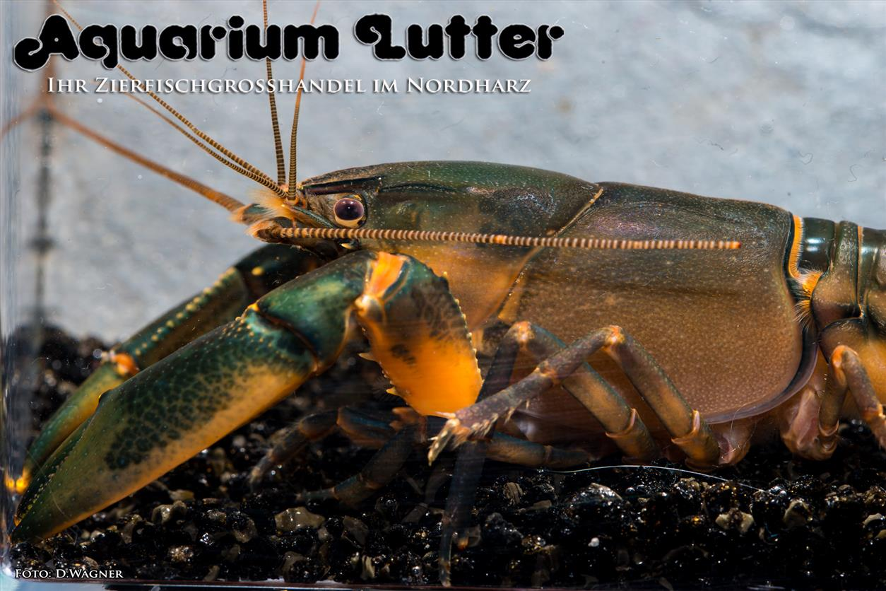 "Black Scorpion Krebs – Cherax sp. ""Black Scorpion""."