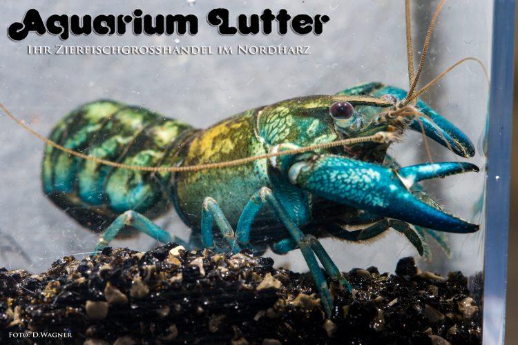 Blauer Papua Krebs - Cherax communis