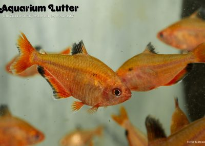 Blutsalmler - Hyphessobrycon callistus