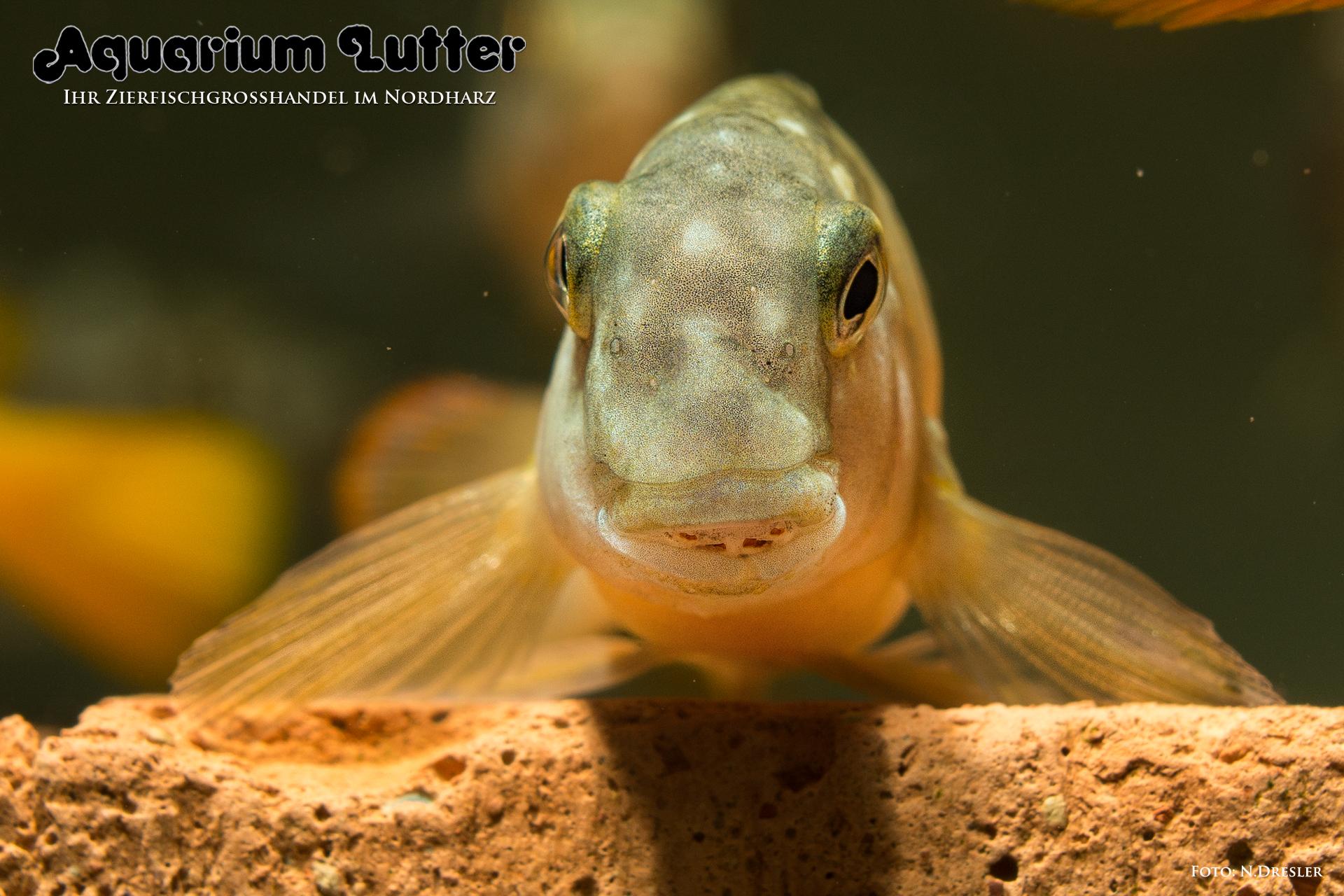Eretmodus-cyanostictus-Makombe