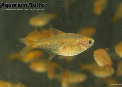 Funkensalmler - Hyphessobrycon amandae