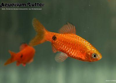 Prachtbarbe Blutrot - Barbus conchonius